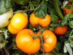 fa paradicsom karcsúsító receptek